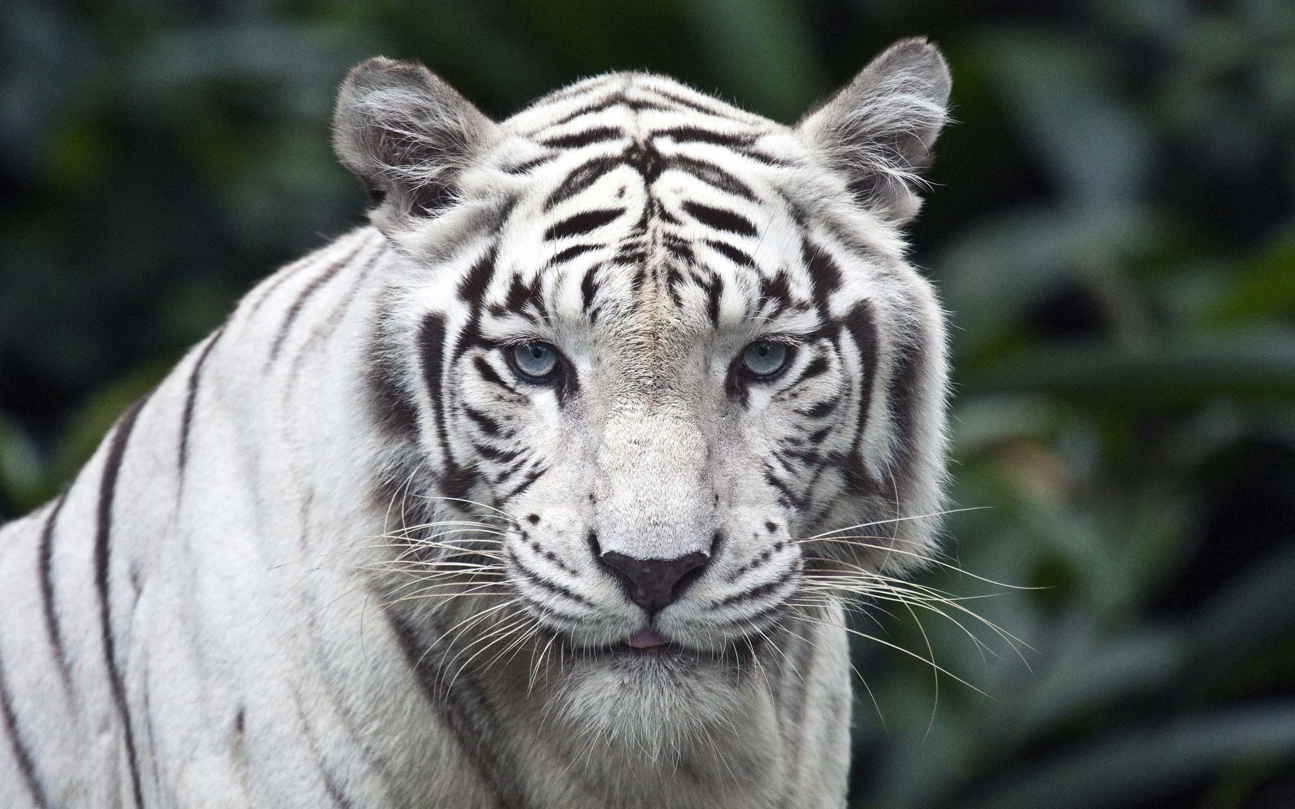 a-giant-white-tiger-wallpaper