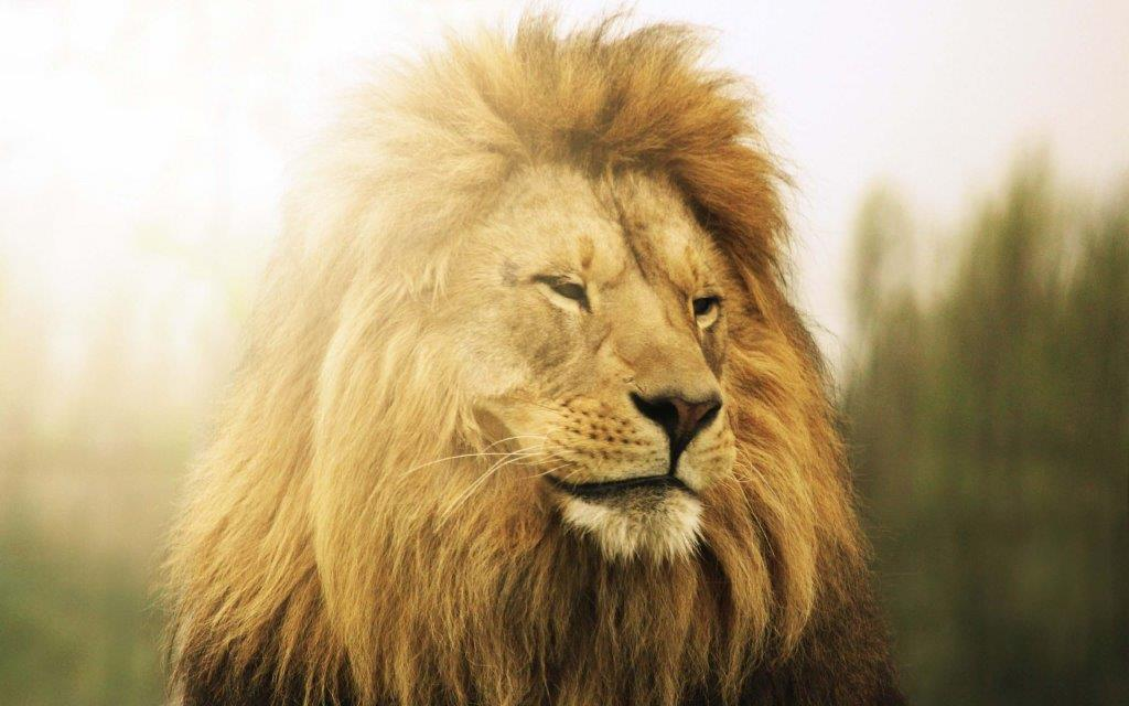 Amazing Lion Confident Of Himself In 4k Wallpaper