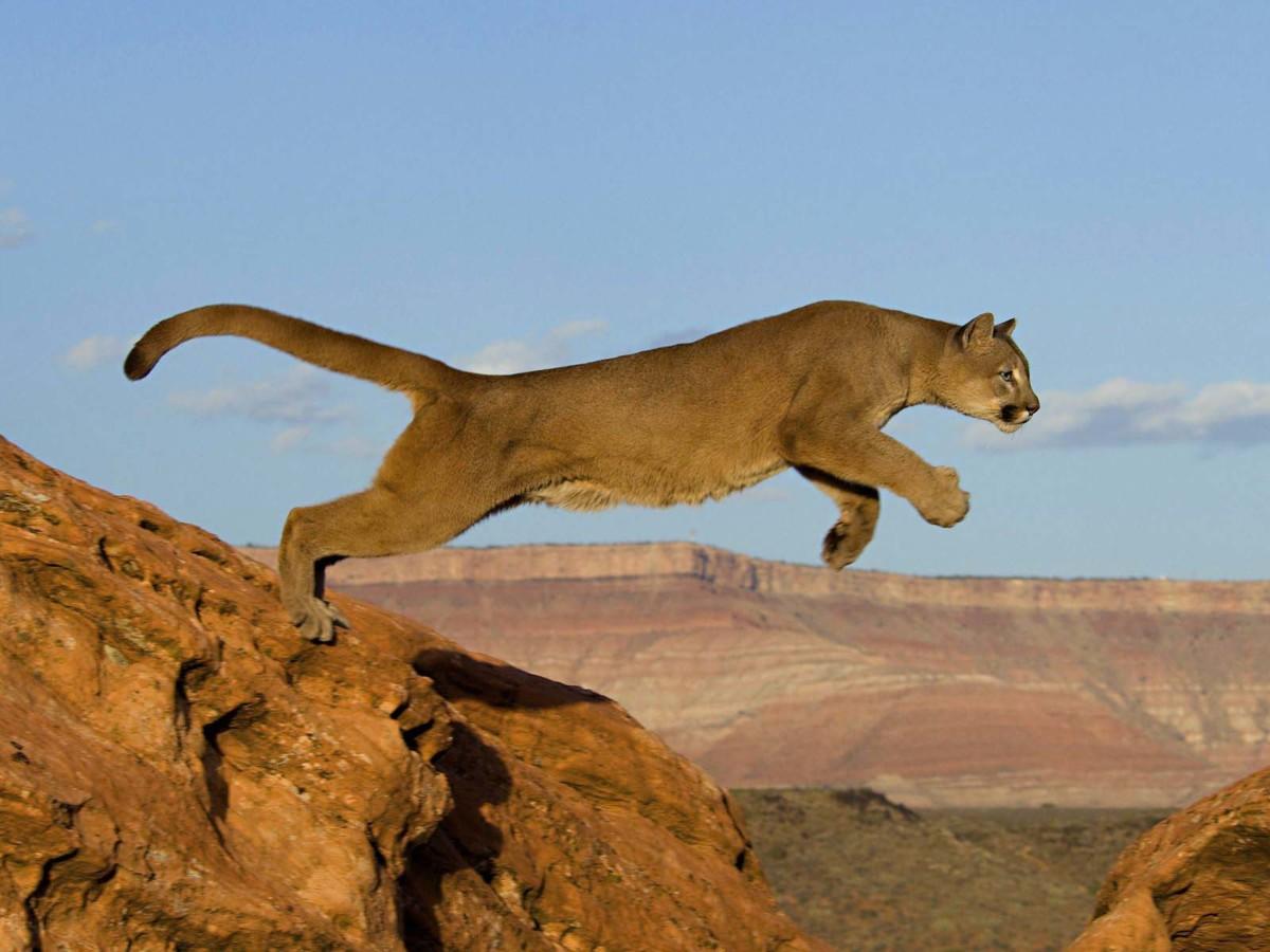 Amazing Lioness Jump Hd In 4k Wallpaper
