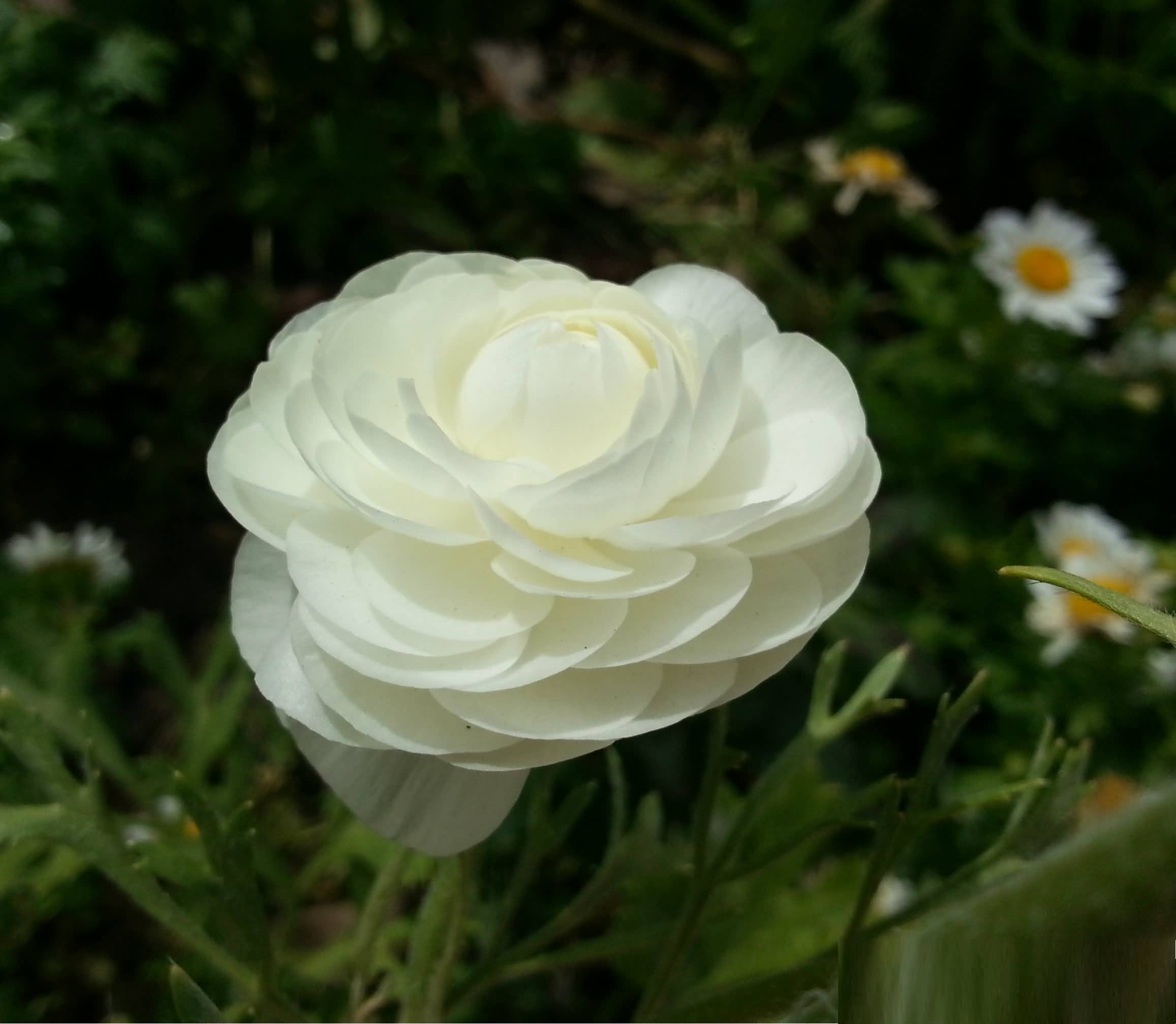 Amazing White Persian Buttercup With Green leafs