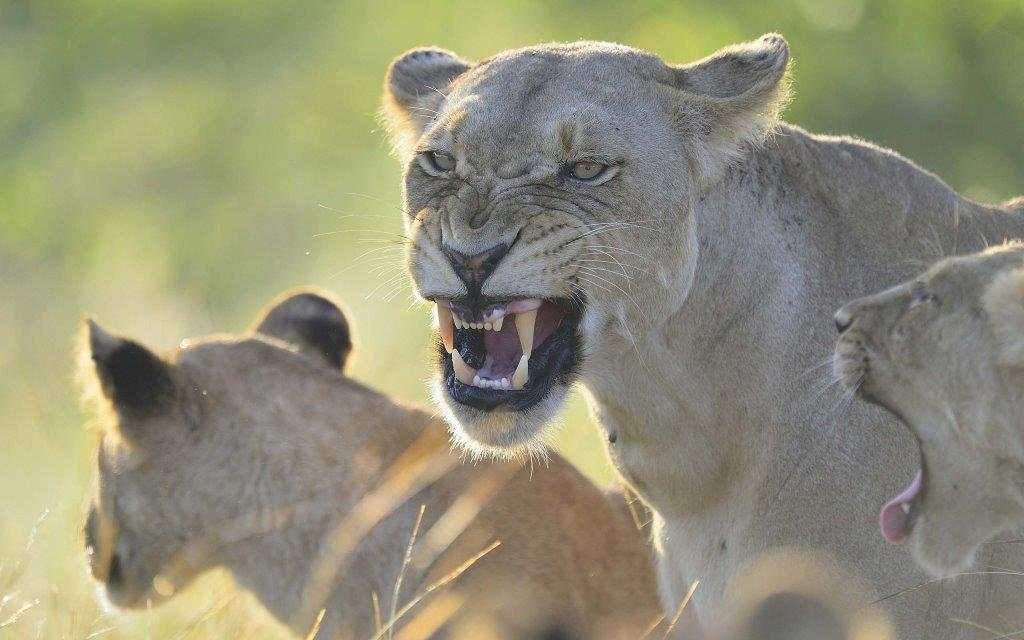 Angry Lioness With Her Children Full Hd Wallpaper