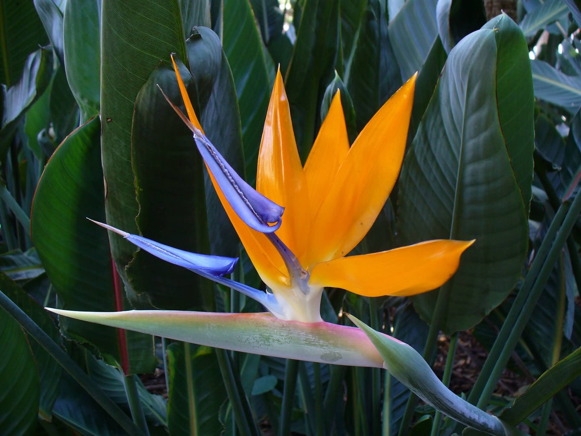 Attractive Orange Bird Of Paradise Flower Plant With Green Leafs