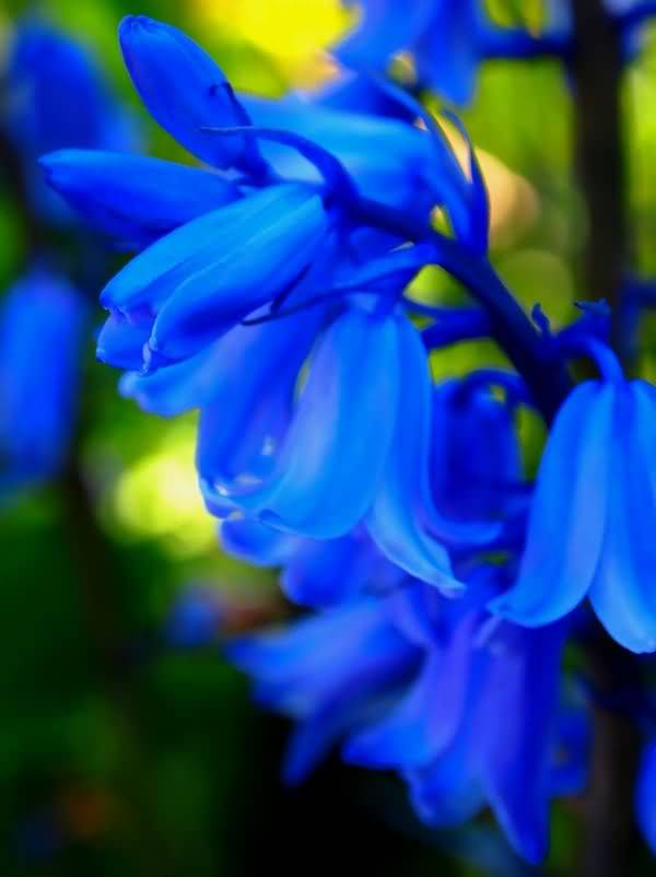 Awesome Bluebell Flower Wallpaper For Decoration