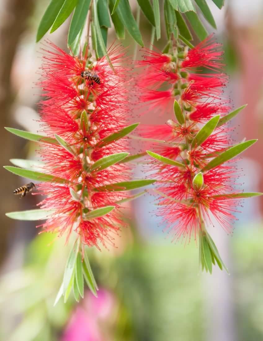 Awesome Bottle Brush Flower With Amazing Nature