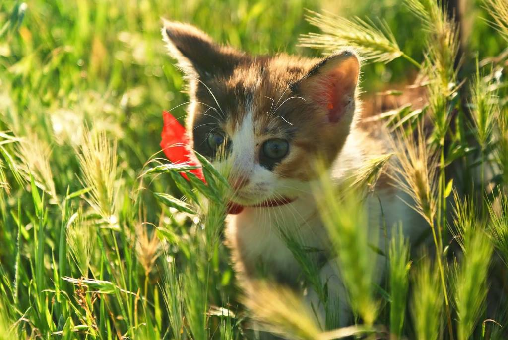 Awesome Cat Beautiful Between Wheat Spikes 4K Wallpaper