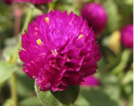 Awesome Purple Globe Amaranth Flower On Plant Grown In Summer