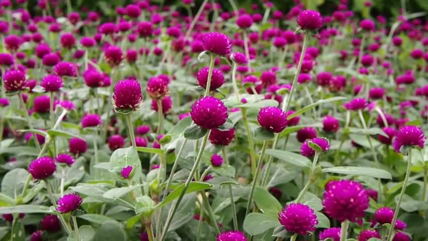Awesome Purple Globe Amaranth Flowers Are Grown In My Personal Land
