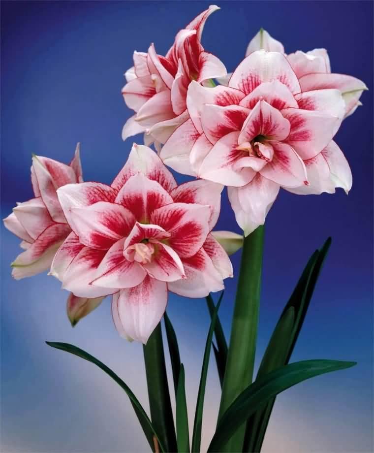 Awesome White Amaryllis Flower Plants
