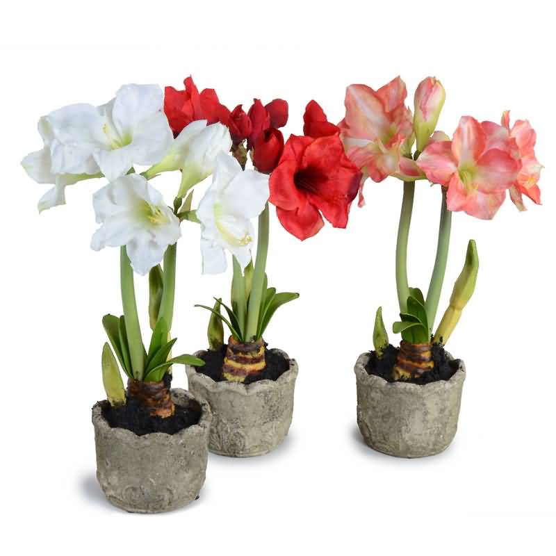 Awesome White And Red Amaryllis Flowers