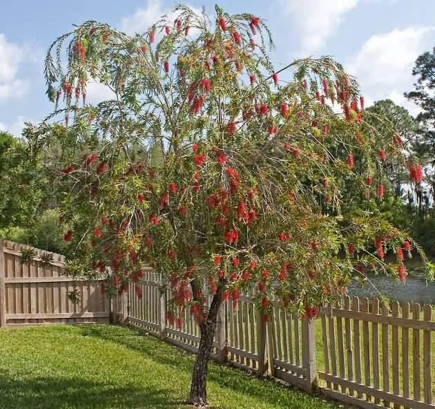 Best Bottle Brush Flower Tree In House