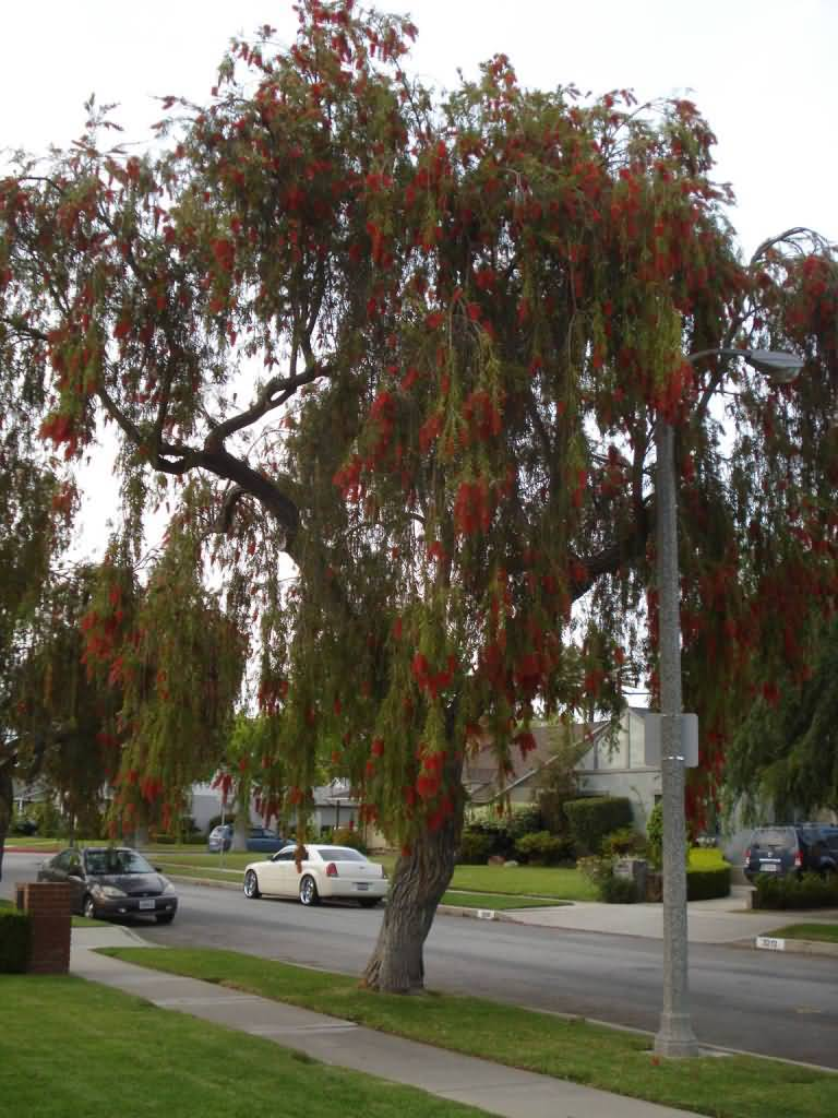 Best Bottle Brush Flower Tree On Road With Awesome Nature