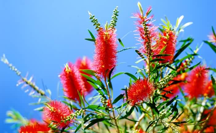 Best Bottle Brush Flower With Awesome Background