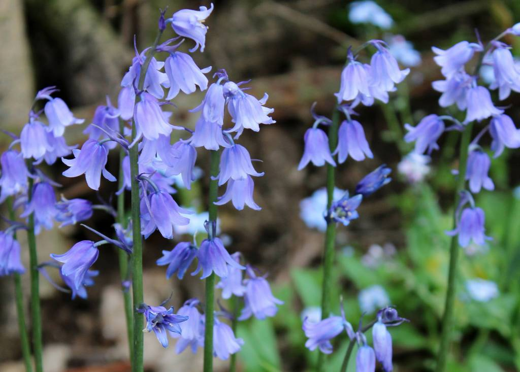 Best Charming Bluebell Flower Plant Best Wallpaper