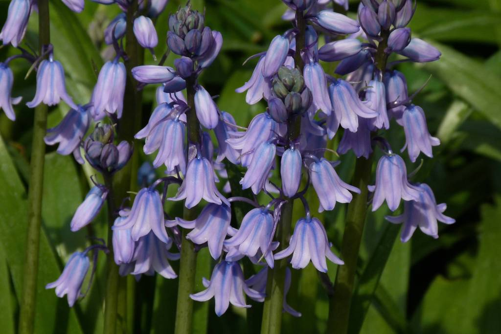 Best Charming Bluebell Flowers With Green Combination