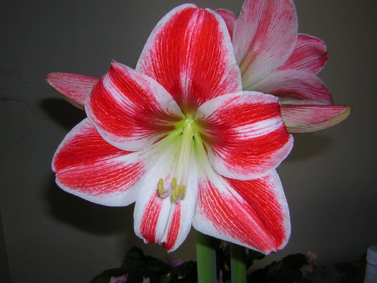Best Red Amaryllis Flower For Decoration And Highlighting