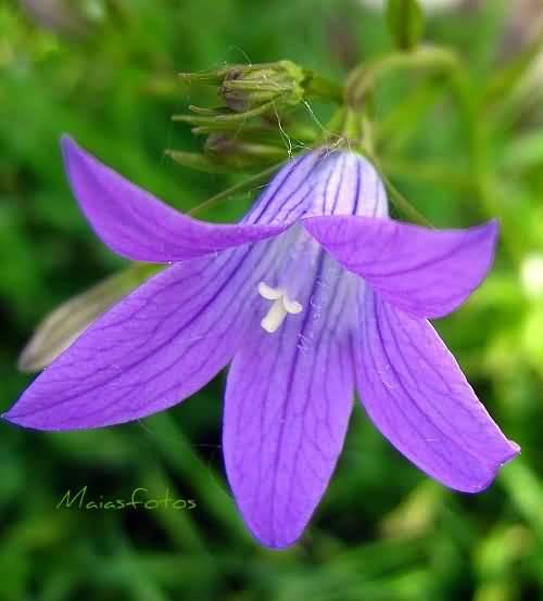 Best Wallpaper Purple Bellflower For Desktop