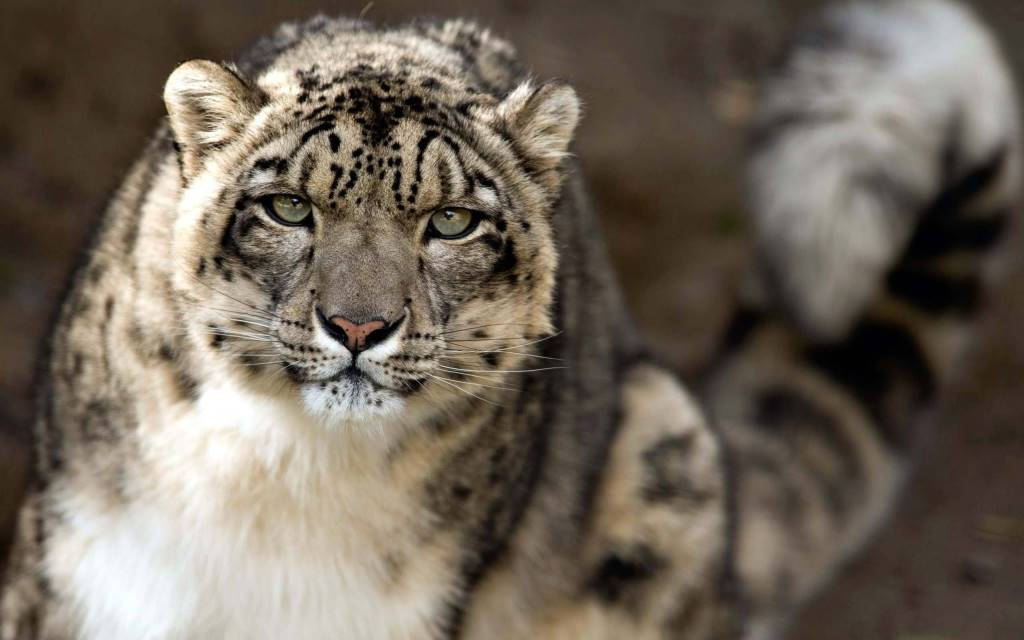 Brown Leopard Animal Full Hd Wallpaper