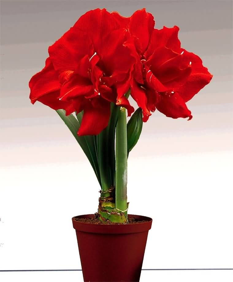Cool Red Amaryllis Flower For Decoration