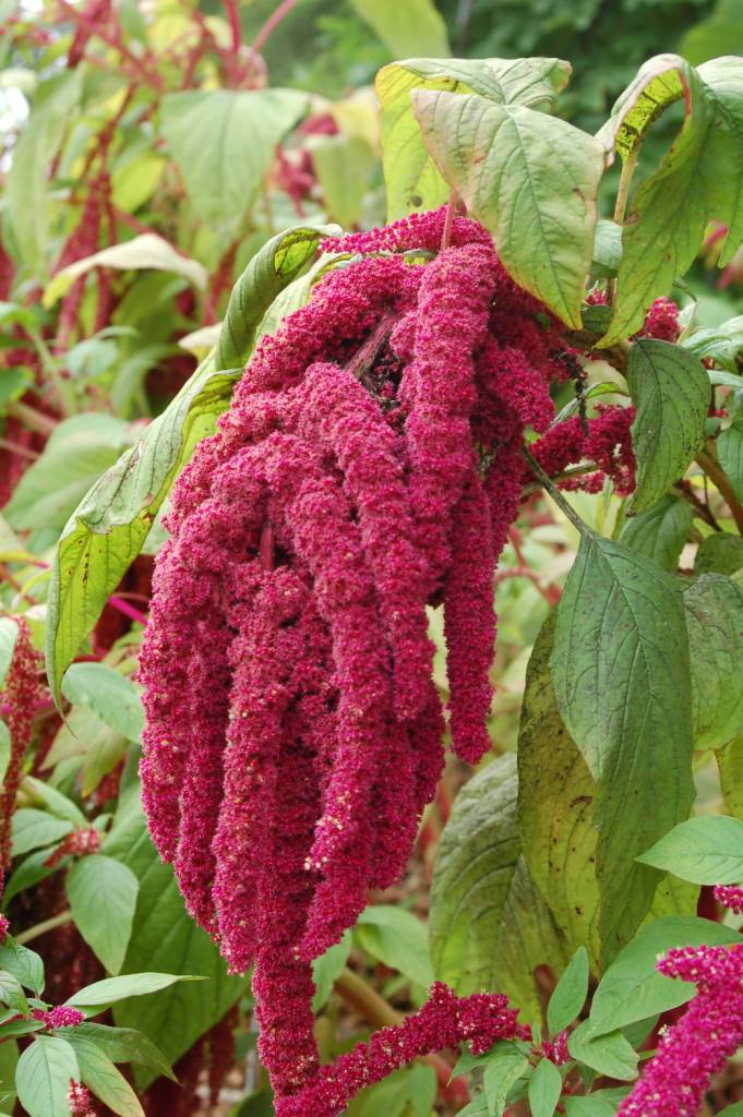 Coolest Red Large Amaranth Caudatus Plant With Big Green Leaf