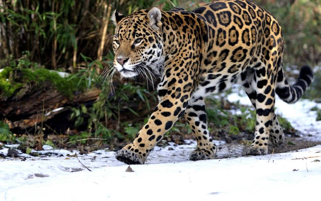 Dreadful Leopard Middle Of The Forest In The Snow Full Hd Wallpaper