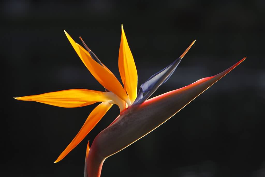 Eye Catching Orange Bird Of Paradise Flower With Black Background
