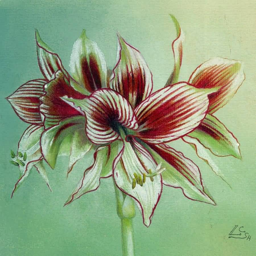 Fabulous Amaryllis Flower Red Light