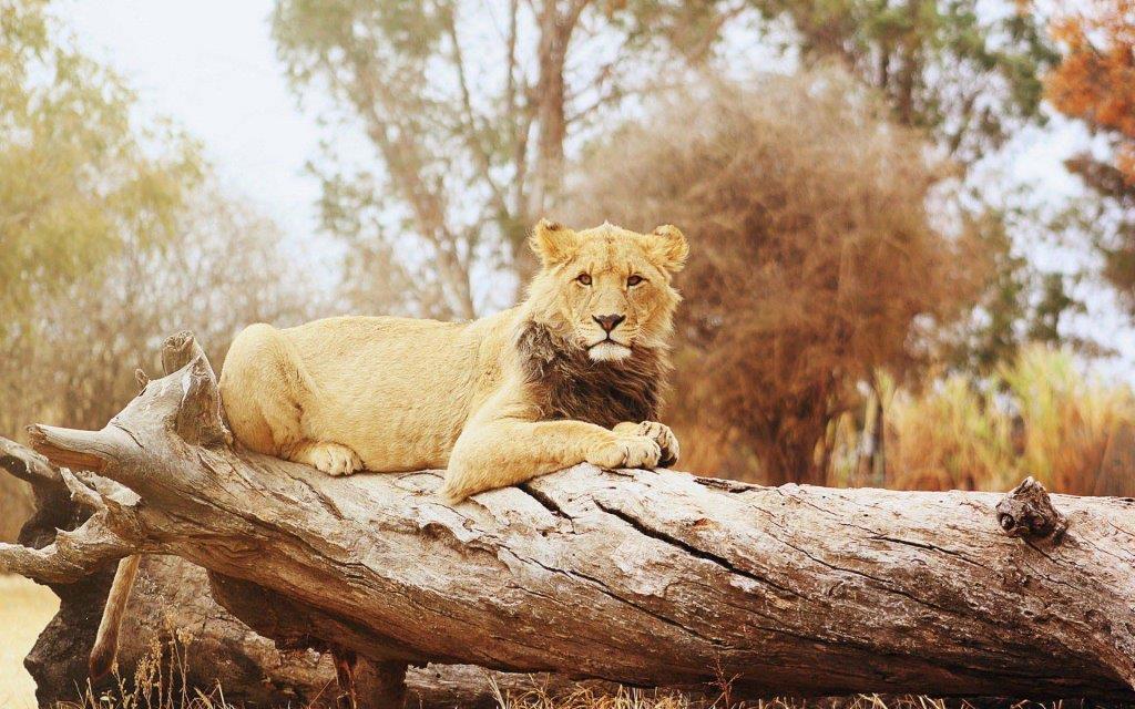 Fantastic Lion On A Big Branch 4k Wallpaper