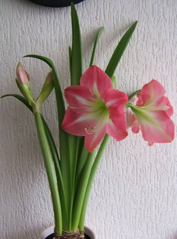 Fantastic Red Amaryllis Flower Plant For Home