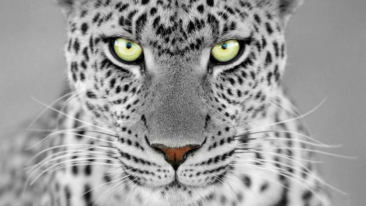 Fantastic White Leopard 4k Wallpaper