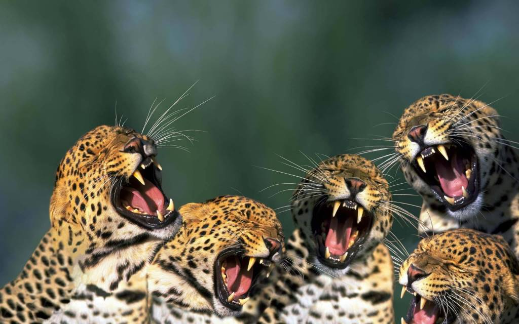 Five Of The Angry Leopards Looking Great Hd Wallpaper