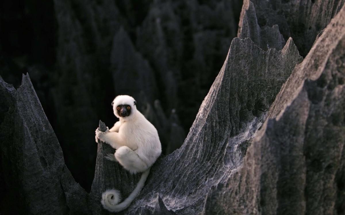 Funny White Lemur Full Hd Wallpaper