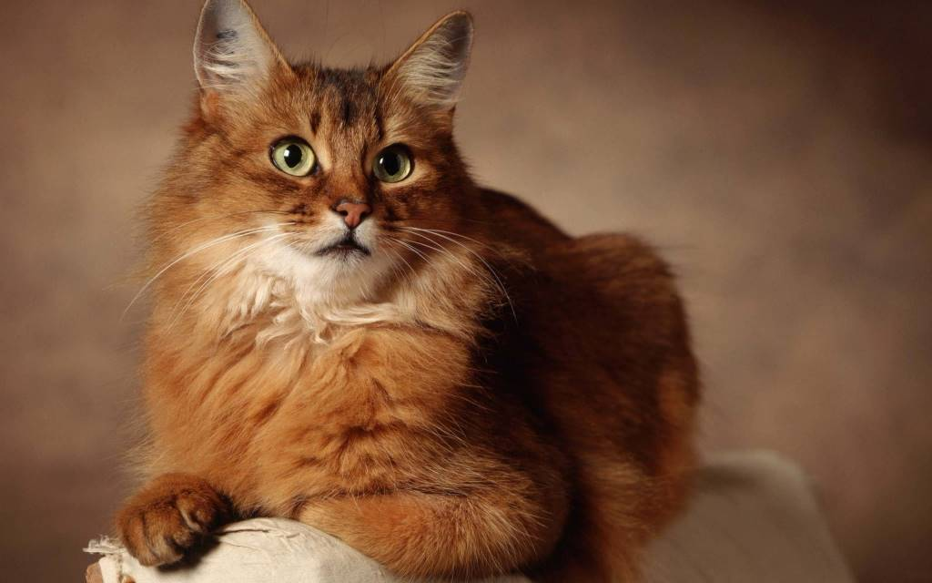 Gorgeous Cat On The Big Pillow 4K Wallpaper