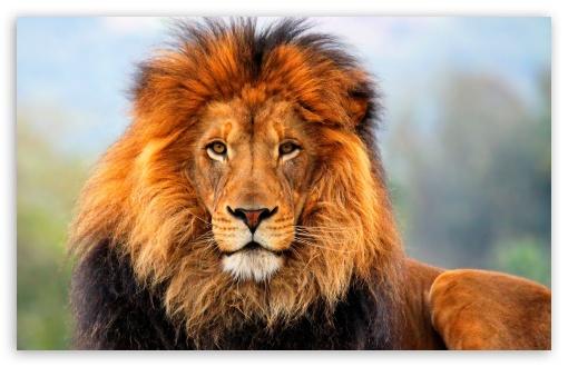 Great Wallpaper Of Tiger In 4k Wallpaper
