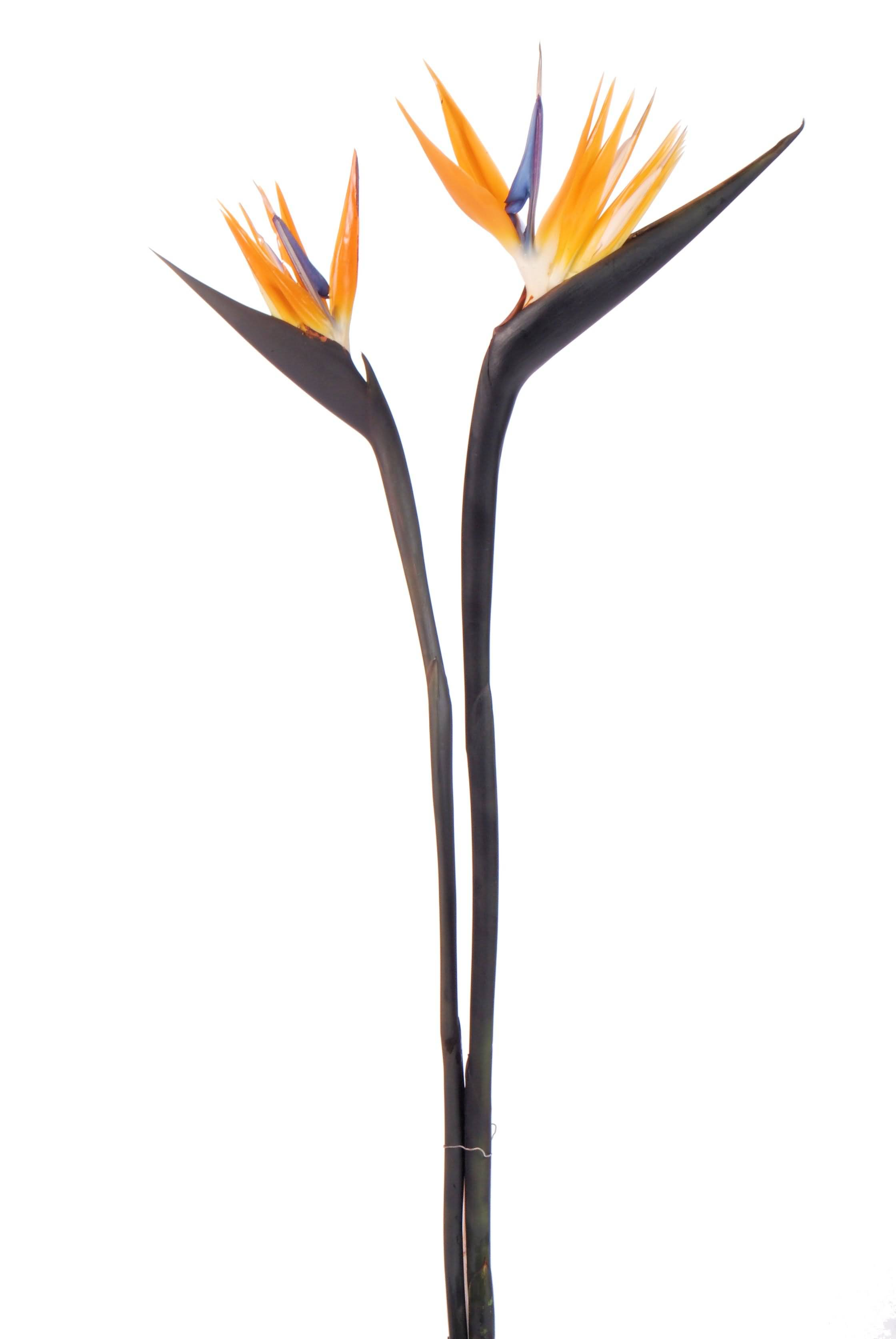 High Definition Orange Bird Of Paradise Flower Plant For Someone Special
