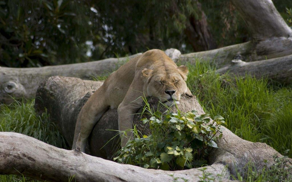 Lazy Lioness While Sleeping In 4k Wallpaper