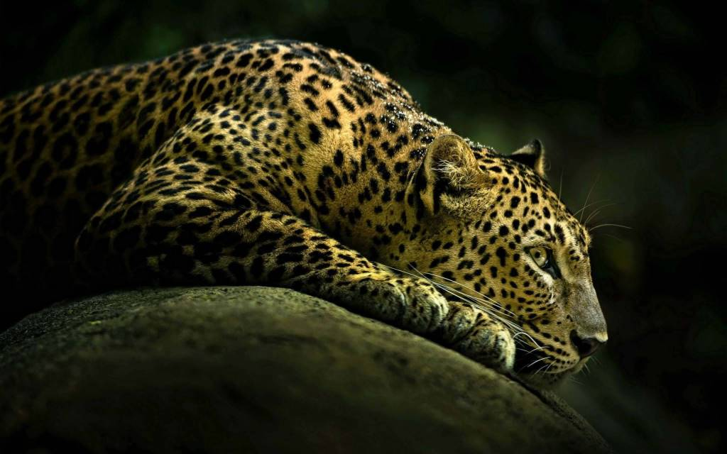 Leopard Seems Sad And Keeping Watching Something 4k Wallpaper