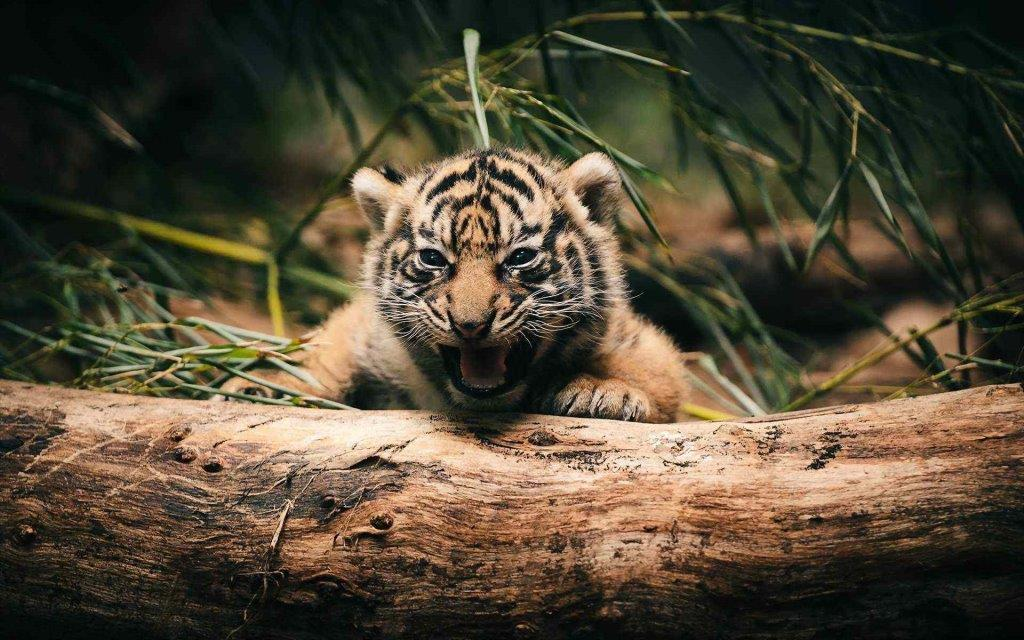Little Very Cute And Cute Tiger In 4k Lion Wallpaper