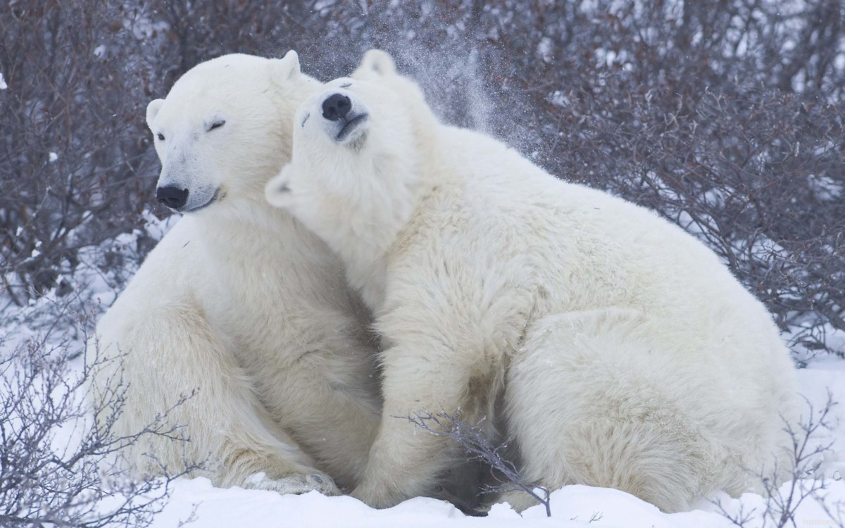 Love And Affection Between Polar Bears Full Hd Wallpaper