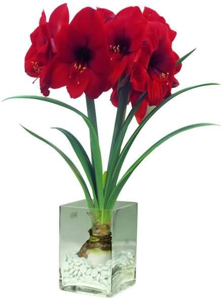 Lovely Red Amaryllis Bulb Flower