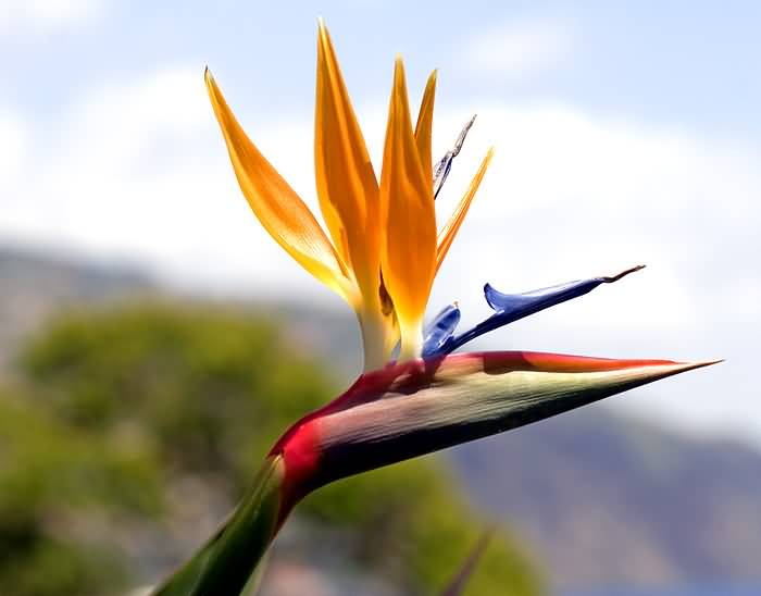 Mind Blowing Bird Of Paradise Flower With Good Background