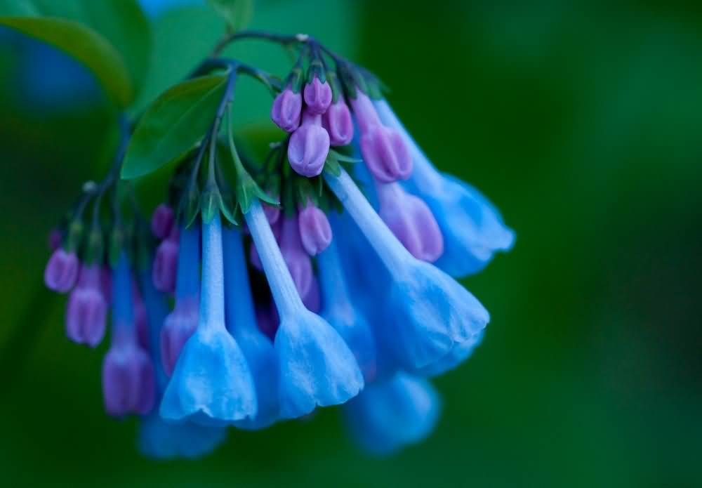 Mind Blowing Bluebell Flower Wallpaper With Green Awesome Background
