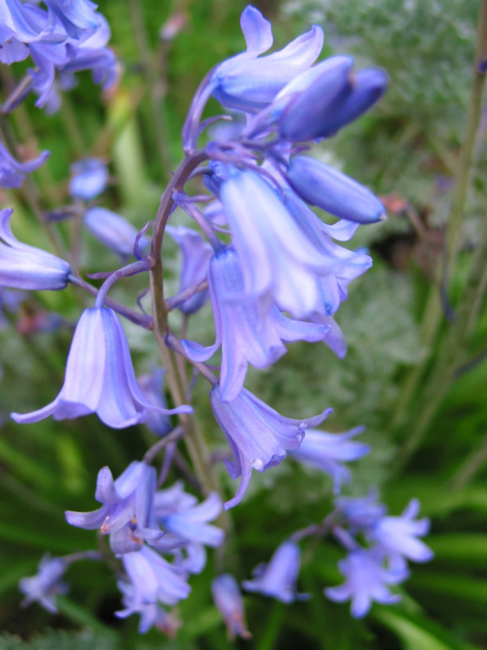 Mind Blowing Bluebell Flower With Green Leafs