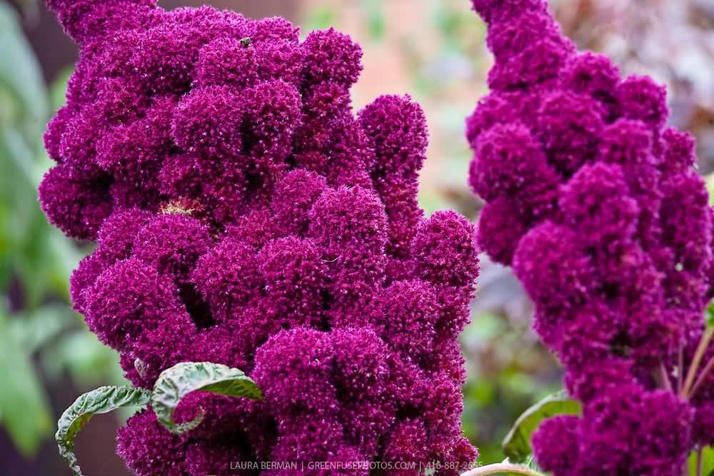 Mind Blowing Purple Amaranth Flowers Plant
