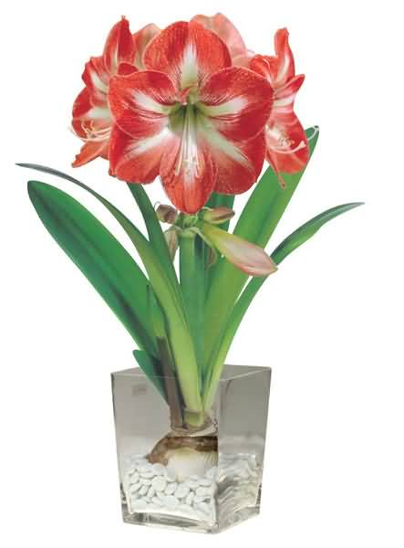 Mind Blowing Red Amaryllis Flower With Bulb And Green Leafs