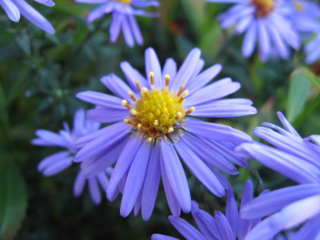 47 Fabulous Aster Flower Pictures, Images, Photos Gallery