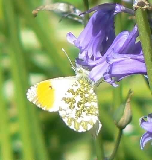 Most Beautiful Bluebell Flower On Butterfly With Beautiful Background