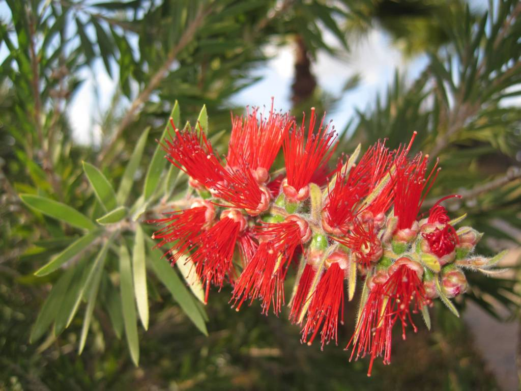 Most Beautiful Bottle Brush Flower With Green Background