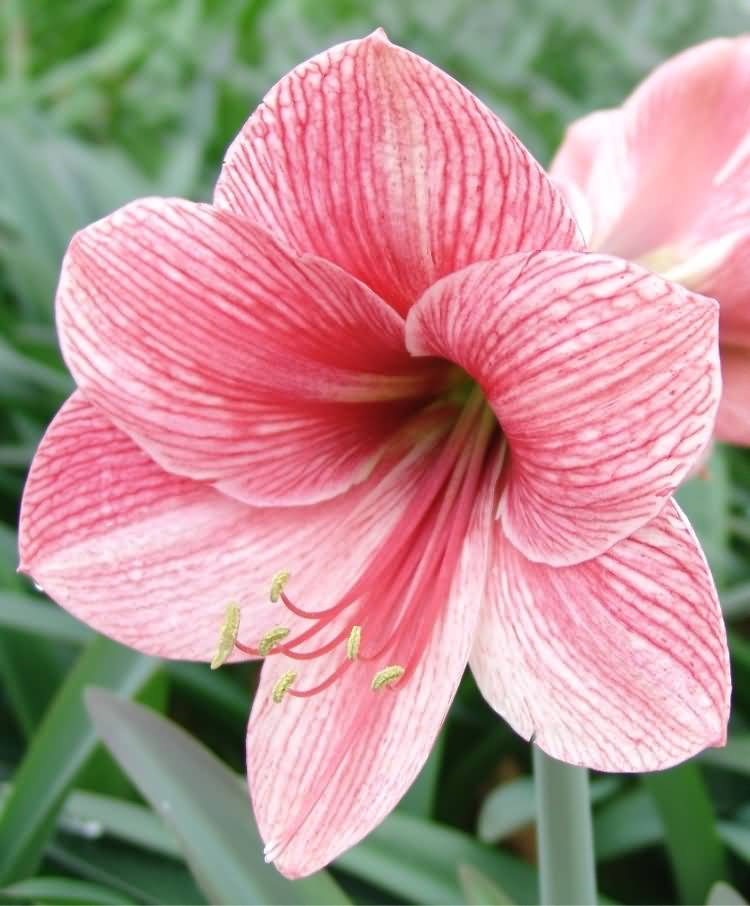 Most Beautiful Pink Amaryllis Flower
