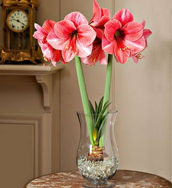 Most Beautiful Red Amaryllis Flower Plant In Home