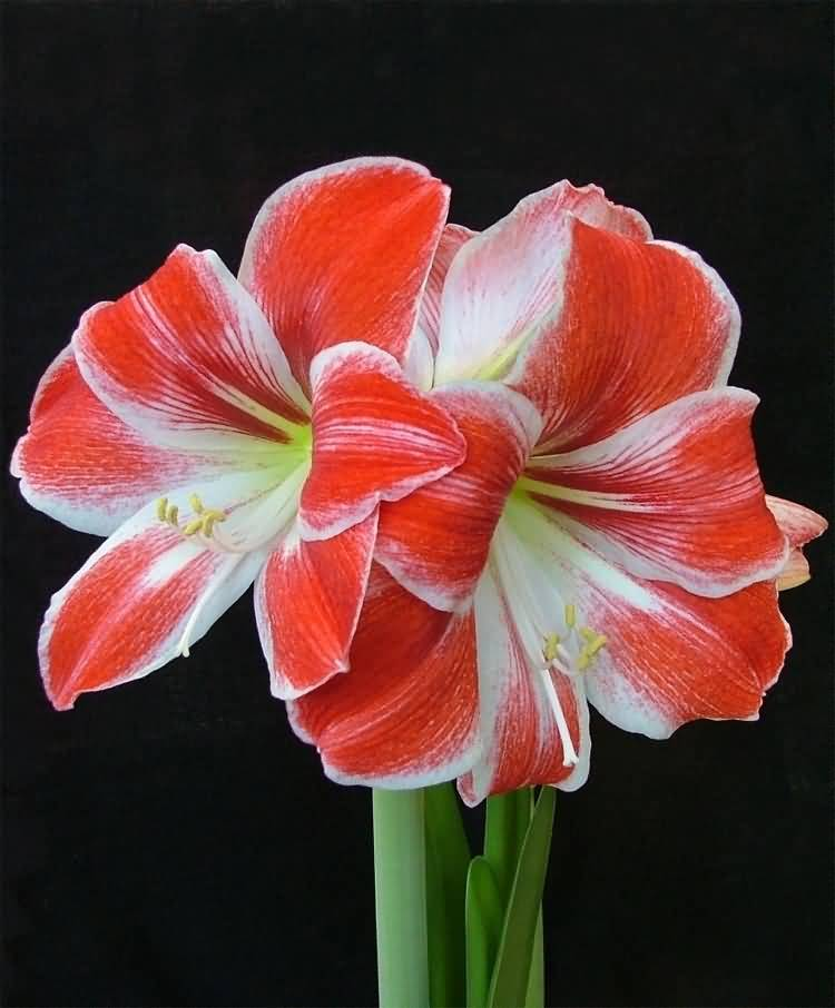 Most Beautiful Red And White Combination Amaryllis Flower